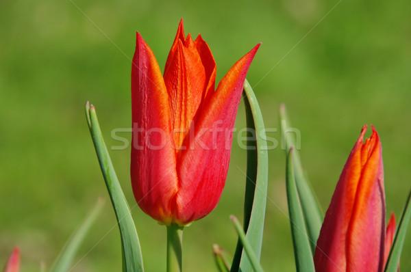 Tulipano rosso 13 Pasqua sfondo verde Foto d'archivio © LianeM