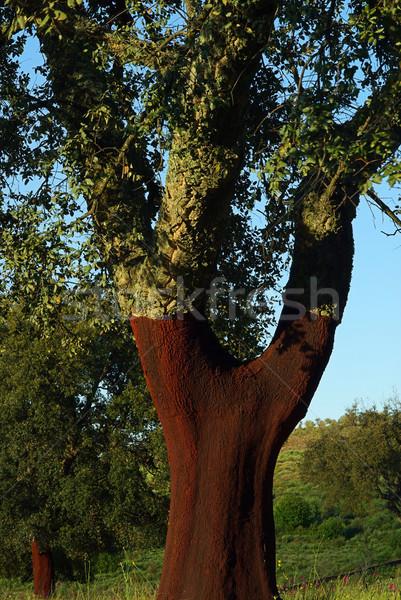 cork oak 07 Stock photo © LianeM