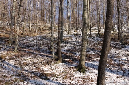 Buchenwald im Winter - beech forest in winter 02 Stock photo © LianeM