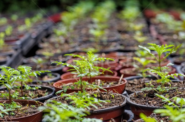 tagetes plant breeding  Stock photo © LianeM