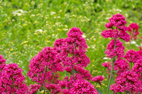 spur valerian, a red wildflower Stock photo © LianeM