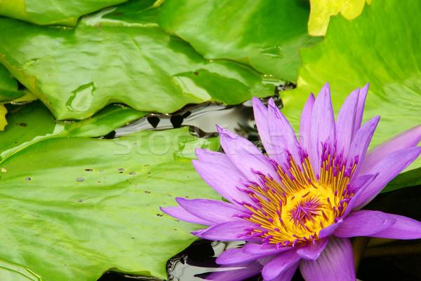 Wody lilia 16 Zdjęcia stock © LianeM