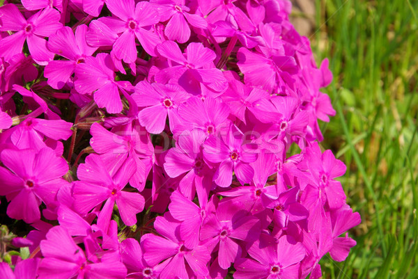 Moss Phlox 13 Stock photo © LianeM