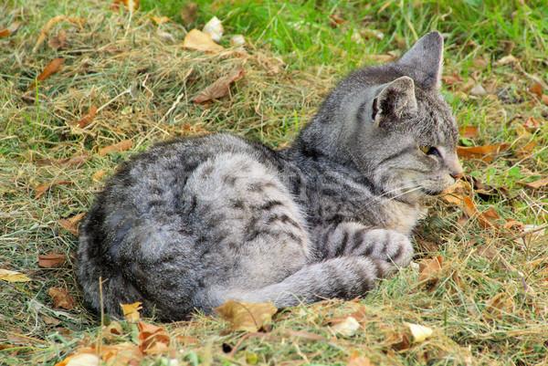 cat 28 Stock photo © LianeM
