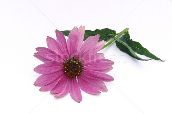 Purple Coneflower 10 Stock photo © LianeM
