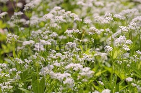 Salvia nemorosa alba  Stock photo © LianeM