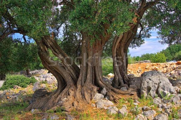 olive tree trunk  Stock photo © LianeM