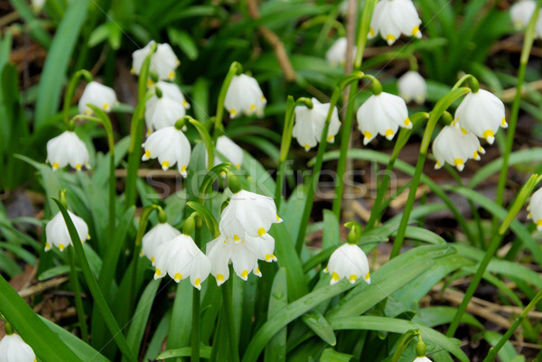 Abrótea primavera floresta verde planta Foto stock © LianeM