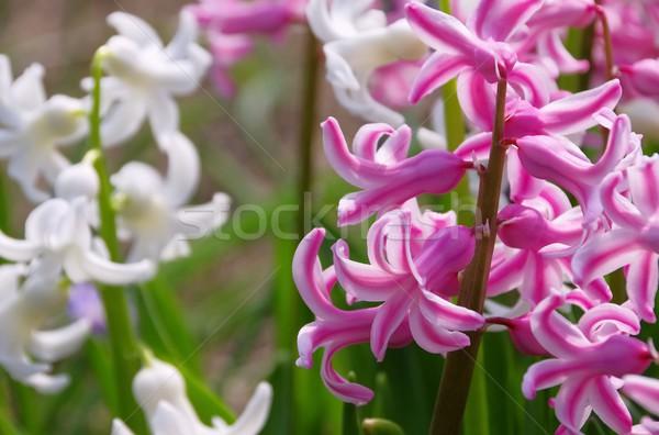 hyacinth  Stock photo © LianeM