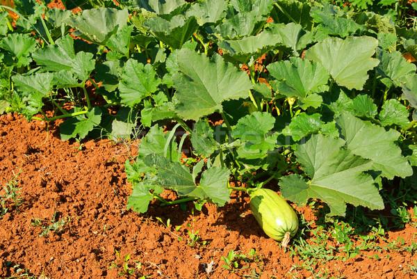 Courgettes courgette domaine fleur feuille fruits Photo stock © LianeM
