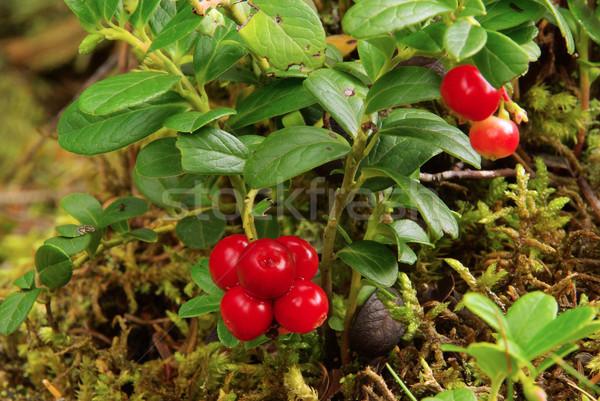 cowberry plant 19 Stock photo © LianeM
