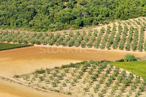 olive grove 34 Stock photo © LianeM