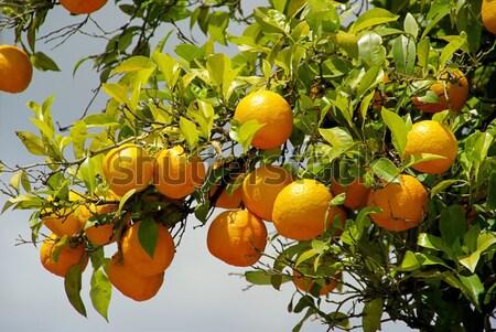 orange fruit on tree 01 Stock photo © LianeM