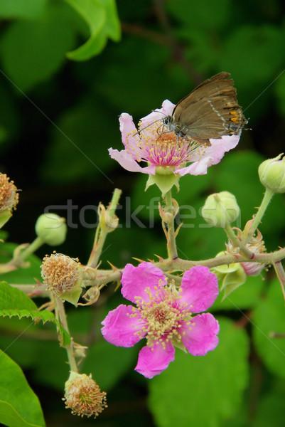 flower from blackberry 06 Stock photo © LianeM