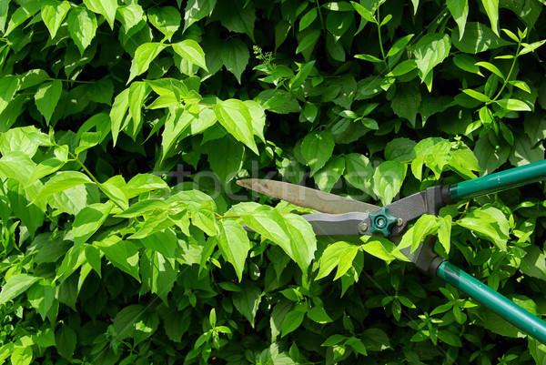 cut a hedge 06 Stock photo © LianeM
