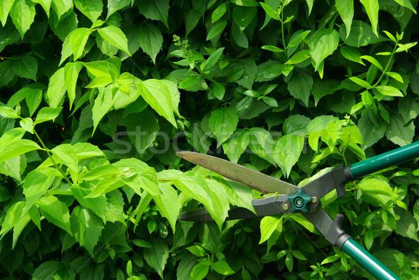 cut a hedge 07 Stock photo © LianeM
