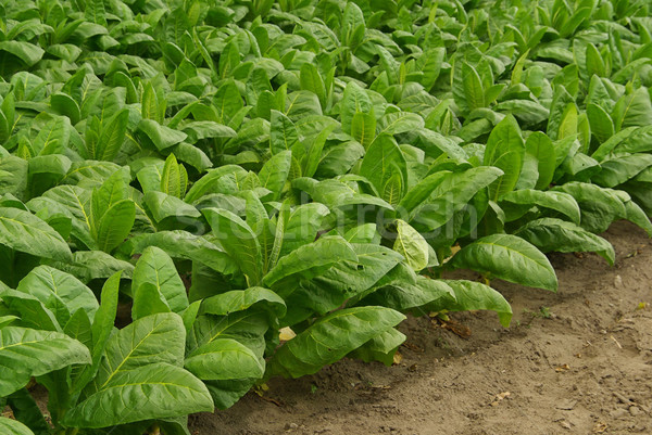 cultivated Tobacco  Stock photo © LianeM