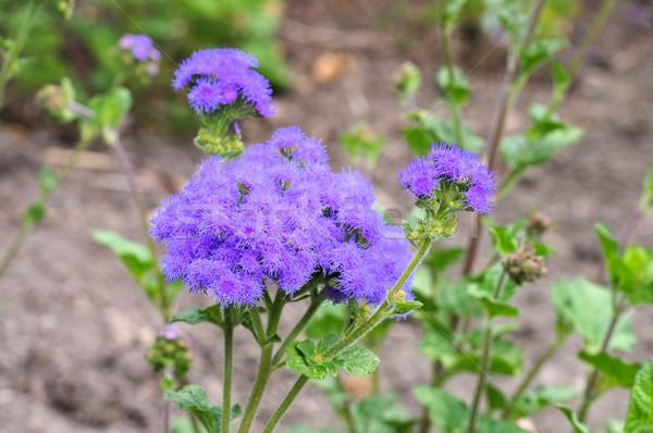 синий диких цветов лист зеленый растений Purple Сток-фото © LianeM
