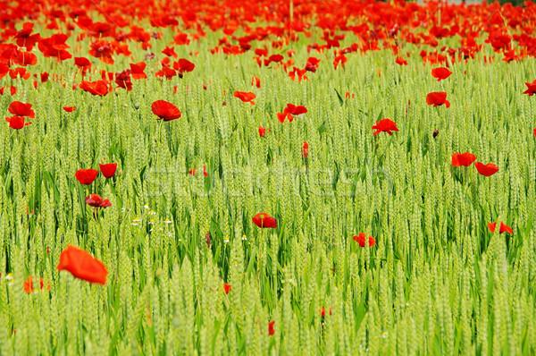 Mais papavero campo fiori primavera natura Foto d'archivio © LianeM