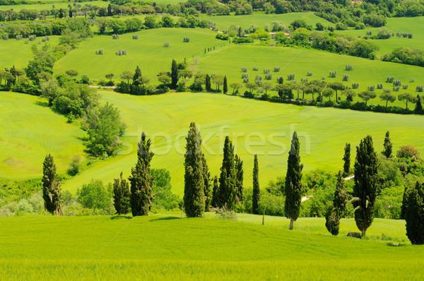 Cyprys krzywa 18 drzewo wiosną trawy Zdjęcia stock © LianeM