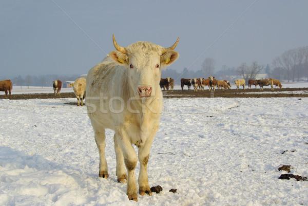 cow 39 Stock photo © LianeM