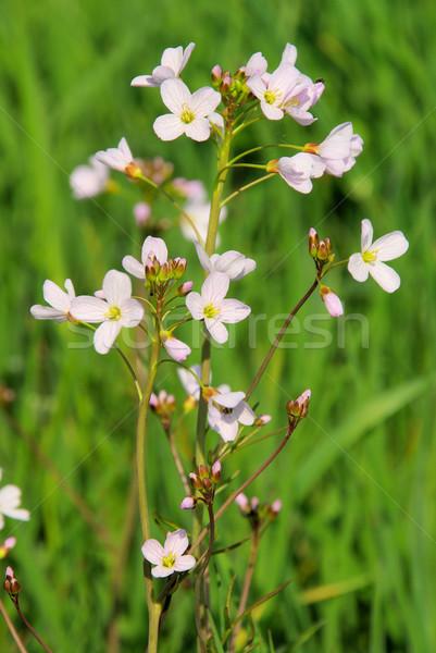Koekoek bloem voorjaar groene witte paars Stockfoto © LianeM