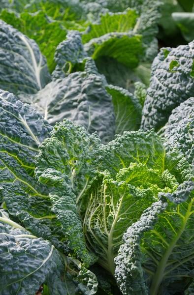 Savoy cabbage  Stock photo © LianeM