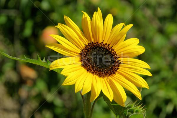sunflowers 32 Stock photo © LianeM
