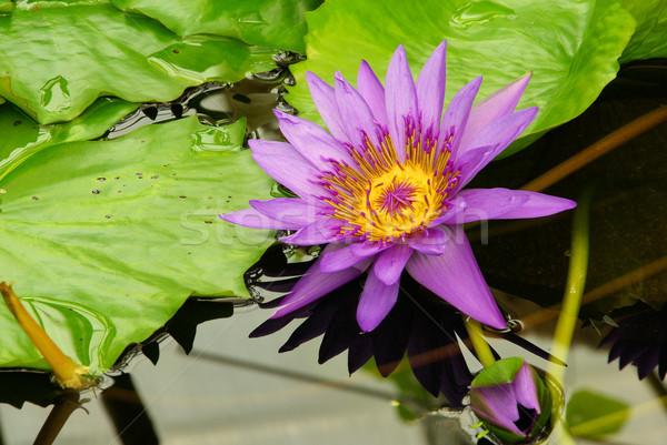 water lily 11 Stock photo © LianeM