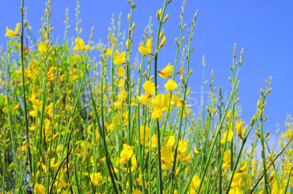 Ginestra 13 fiore primavera natura impianto Foto d'archivio © LianeM