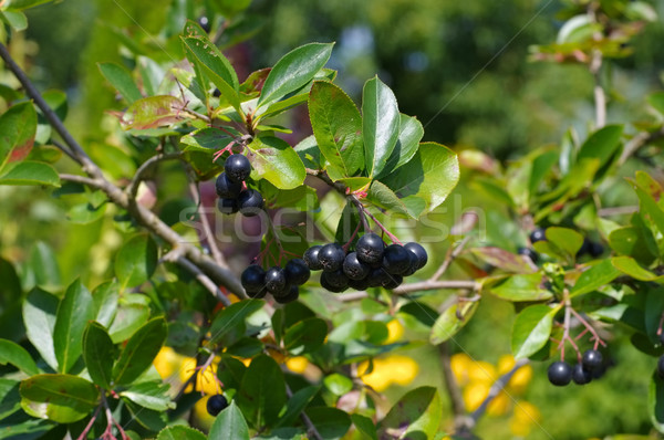 bunch of black chokeberry Stock photo © LianeM