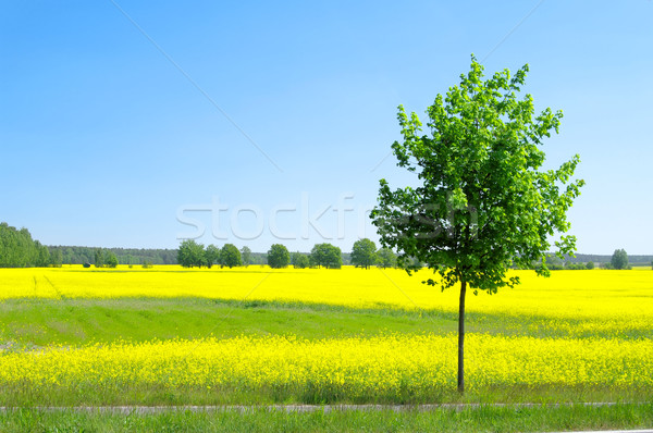 rape field and tree 01 Stock photo © LianeM
