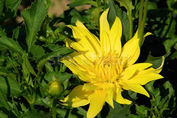 Dalia kwiat liści ogród zielone kwiat Zdjęcia stock © LianeM
