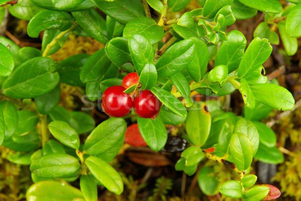 cowberry plant 07 Stock photo © LianeM