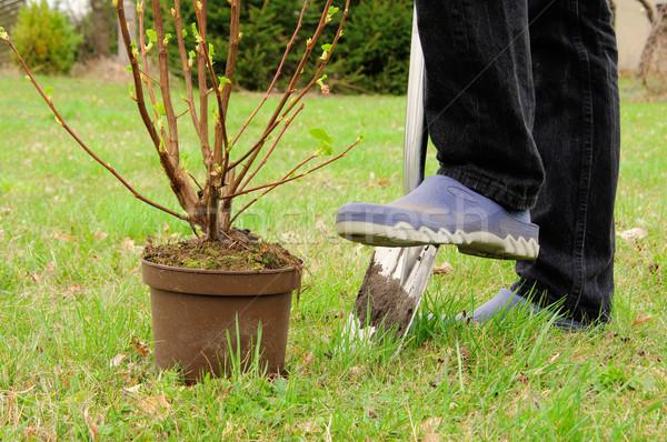 Krzew wiosną domu liści ziemi Zdjęcia stock © LianeM