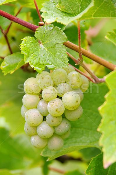винограда белый фрукты фон зеленый завода Сток-фото © LianeM