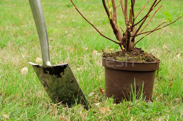 planting a shrub 02 Stock photo © LianeM