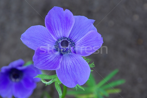 poppy anemone 07 Stock photo © LianeM