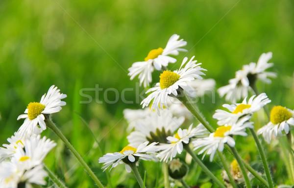 Százszorszép háttér gyep legelő makró virág Stock fotó © LianeM