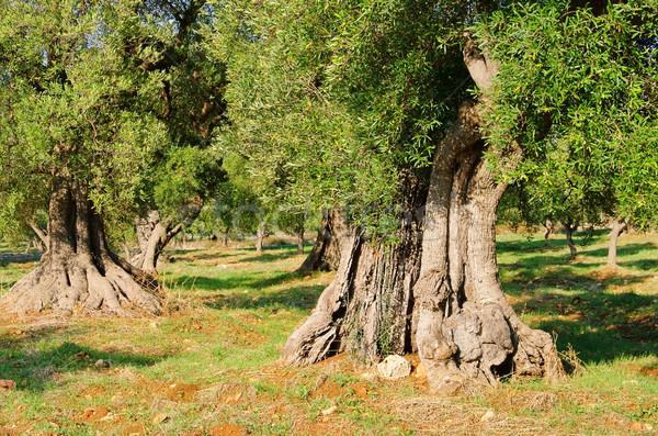 olive grove 32 Stock photo © LianeM