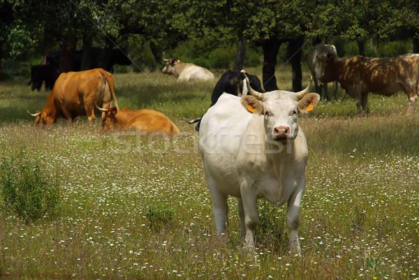 cow 22 Stock photo © LianeM