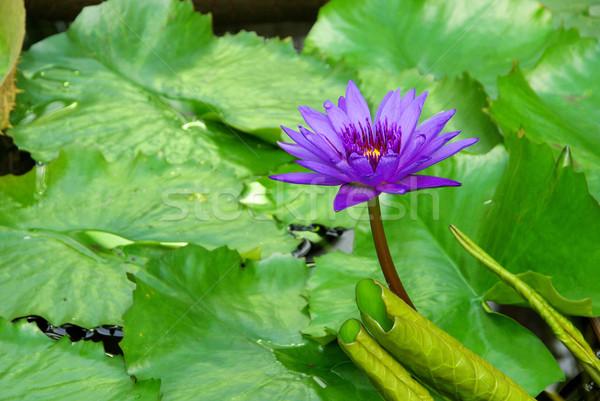 water lily 22 Stock photo © LianeM
