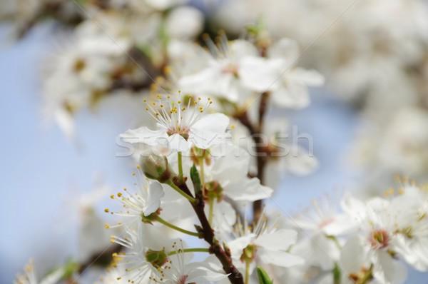 plum blossom  Stock photo © LianeM