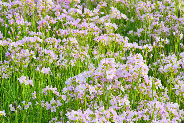 Koekoek bloem 18 voorjaar groene Stockfoto © LianeM