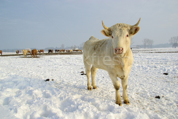cow 41 Stock photo © LianeM