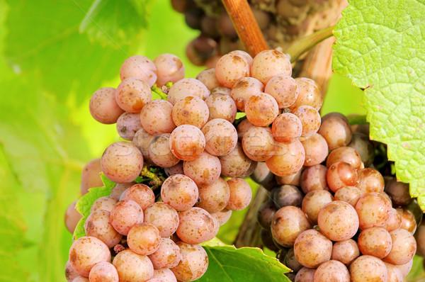 Winogron czerwony 22 owoców niebieski roślin Zdjęcia stock © LianeM