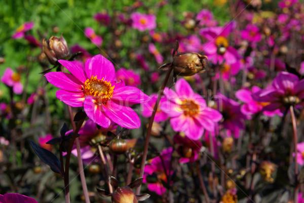 Dalia fiore natura foglia verde rosa Foto d'archivio © LianeM