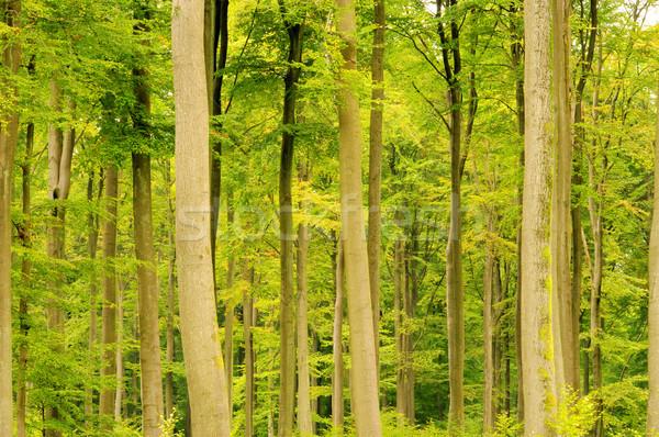 beech forest in fall 13 Stock photo © LianeM