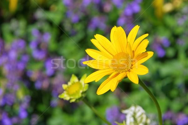 oxeye daisy  Stock photo © LianeM