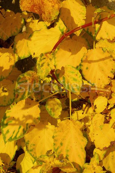 Hydrangea petiolaris 01 Stock photo © LianeM